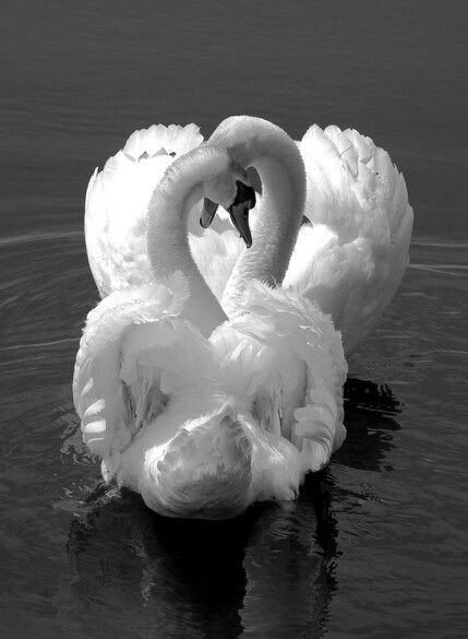 Swans entwined