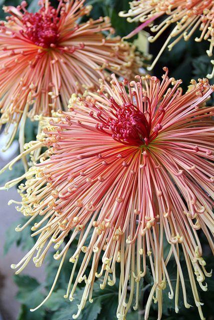 Japanese Chrysanthem. Credit: Victoria Minsk, Flickr
