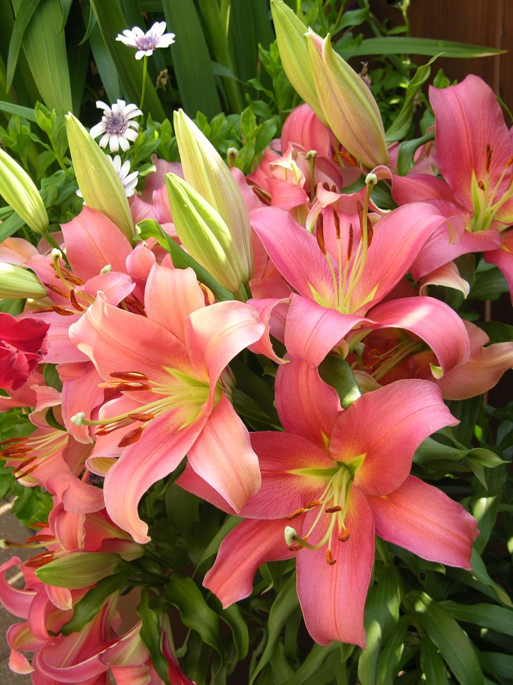 Don't know the name of this wonderful lily, grown by a Winnipeg gardener.