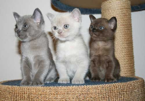 Different Burmese colours: - #kitty - See More Tops Burmese Cat Breeds at Catsincare.com!
