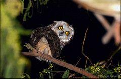 Coruja-do-nabal (Asio flammeus) (Isabel Kardoso) Tags: ave coruja noturna animal