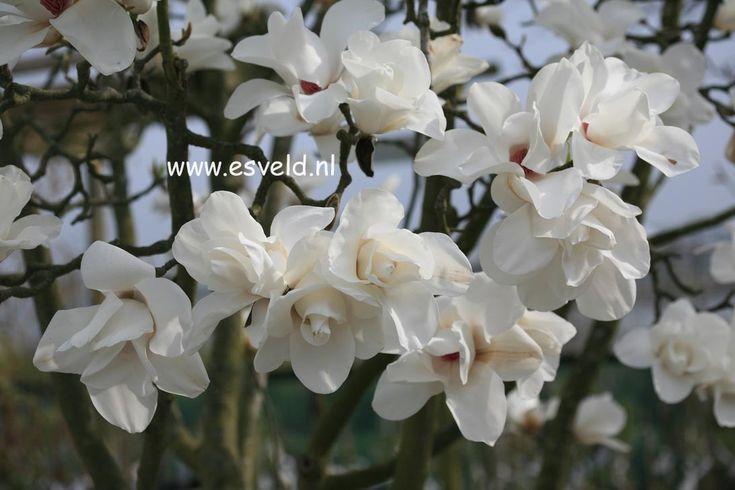 Aanwijzingen voor het gebruik in de tuin van Magnolia - www.esveld.nl