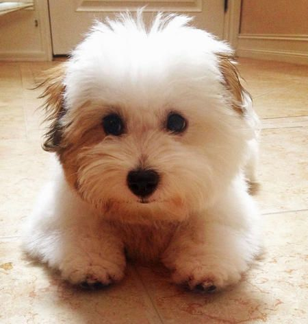 73 best Coton de Tulear images on Pinterest | Coton de ...