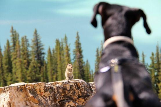 Viajar con Perro a Canadá y Cómo Kiba descubrió las ardillas http://www.mindfultravelbysara.com/2015/10/viajar-con-perro-a-canada.html #ViajarconPerro