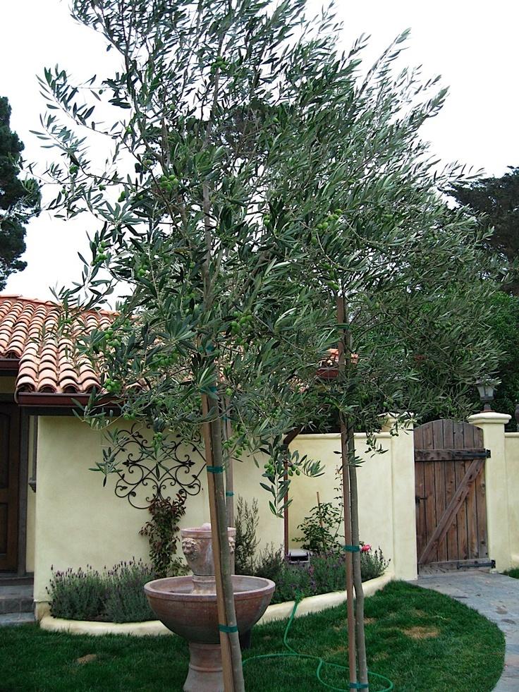 Olive Tree Nursery California Thenurseries