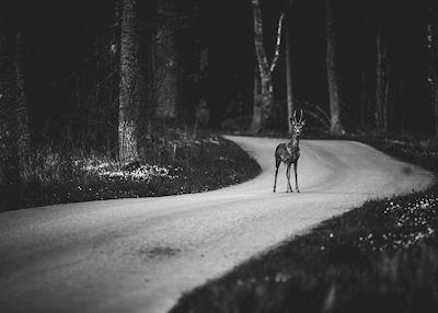 Gick för att fota solnedgången vid brofästet på Öland när jag kom på att objektivlocket låg kvar i bilen. Jag vände om och gick mot bilen när plötsligt två råbockar kom ut ur skogen på vägen framför mig. Den ena sprang direkt medan den i bilden stod kvar i någon minut och mötte min blick innan även denne tog till skogs.