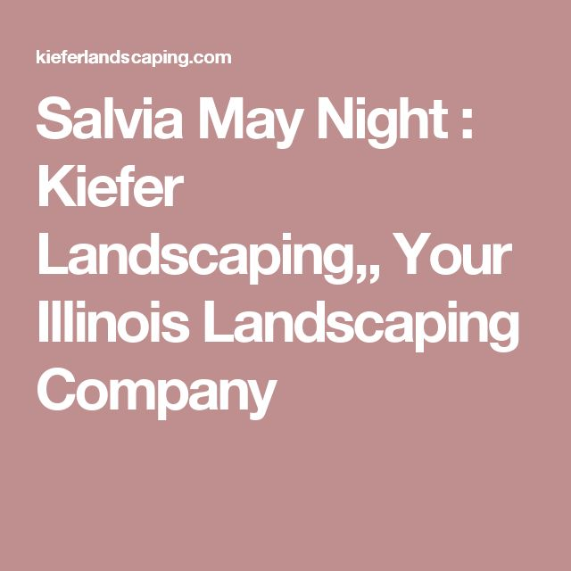 Salvia May Night : Kiefer Landscaping,, Your Illinois Landscaping Company