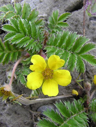 Silverweed (Argentina Spp.) in Ontario