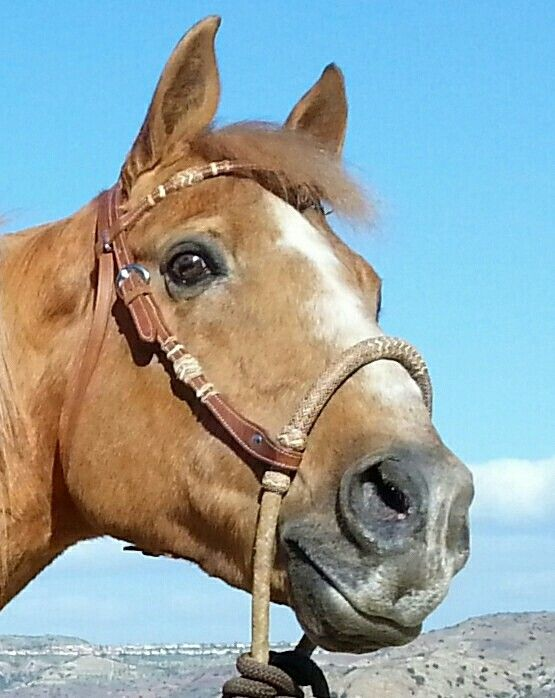 Beautiful palamino quarter horse head shot.   Quarter ...