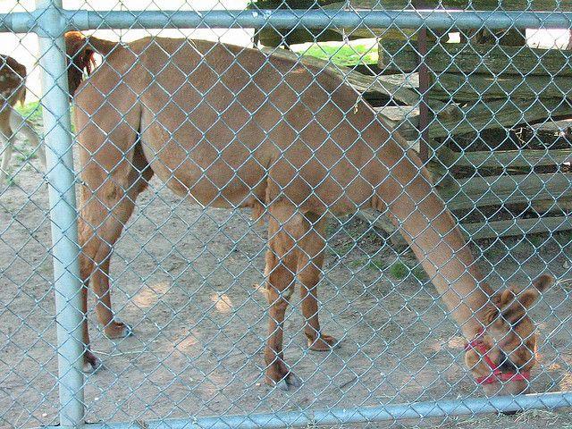 Shaved+Llama | Shaved Llama | Flickr - Photo Sharing!