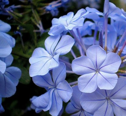 Periwinkle Color Eyes | She loves the cool periwinkle shade found in native Texas Plumbago ...