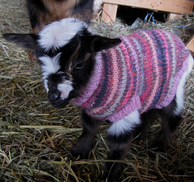 Our first baby of 2013, a little blue-eyed doeling (now named Ella) in a hand knit wool sweater. Registered nigerian dwarf mini dairy goat. folktalefarm.com