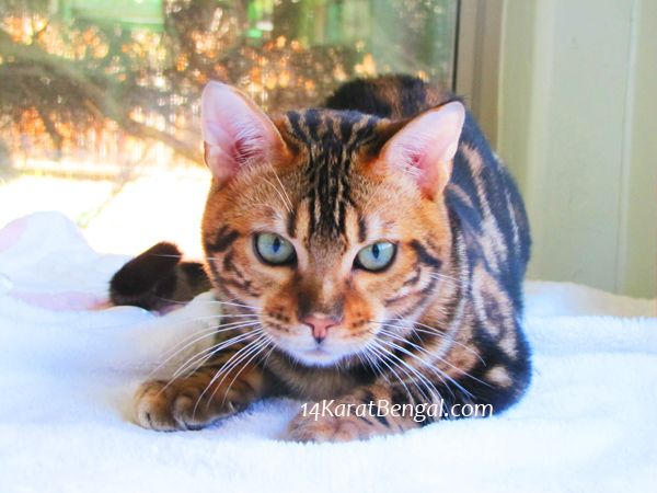 Bengal Kittens For Sale Healthy Top Quality Bengal Kittens W