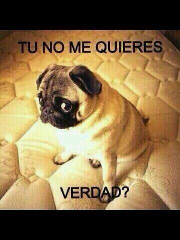 Tú no me quieres verdad? | Pugs funny, Cute pugs, Pug memes
