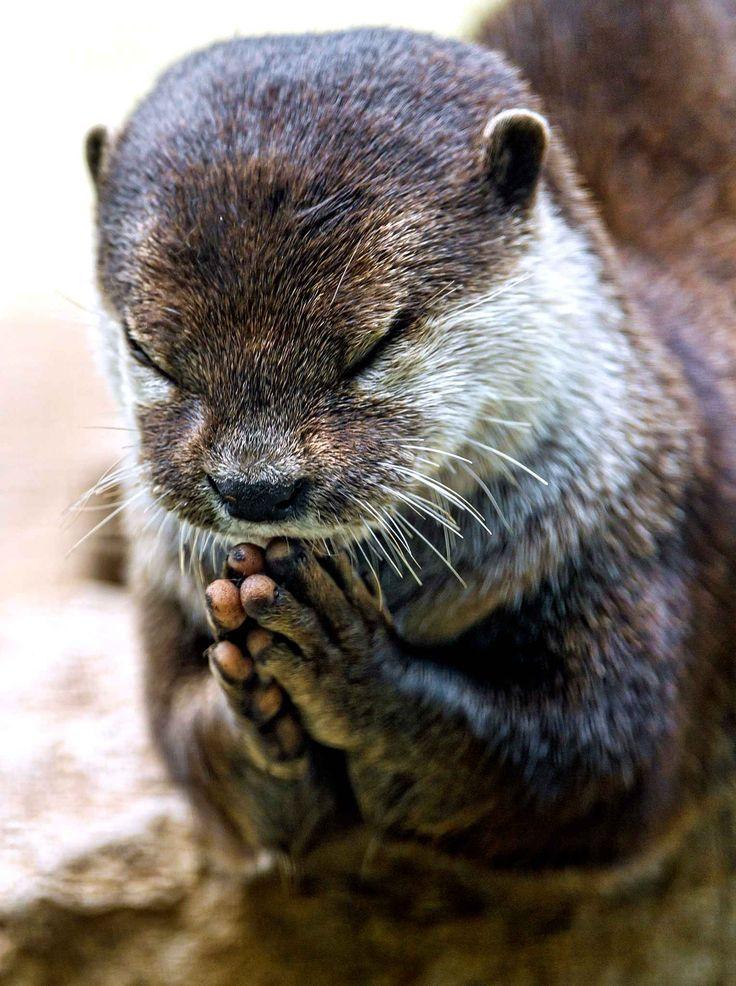 Sainte loutre, priez pour nous.