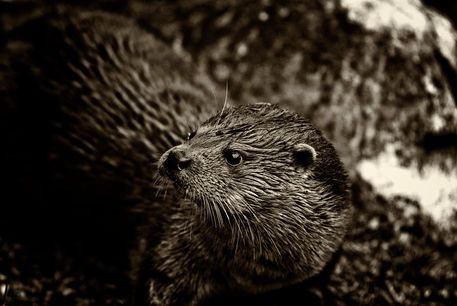'European Otter (Lutra lutra)' by studio-toffa on artflakes.com as poster or art print $18.03