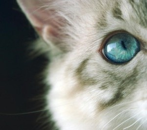 705767e1c895a207aae354244b763fe4--blue-cats-white-cats Animal Eyes