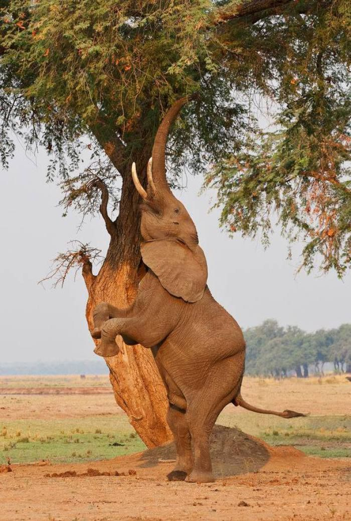 Acrobatic Elephants of Mana Pools in Zimbabwe, Botswana by Ken Watkins Photography