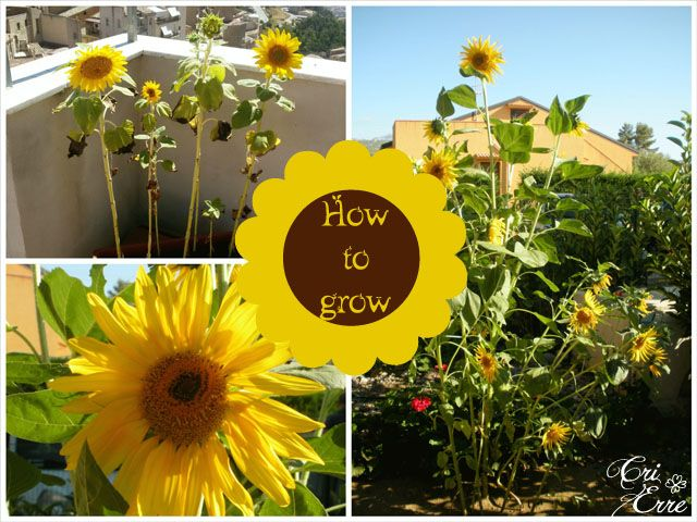 Come coltivare i girasoli #howtogrow #sunflowers