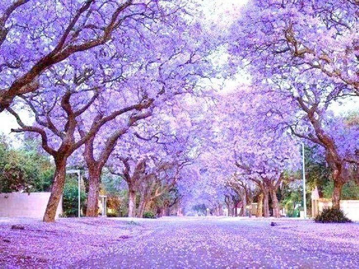 Royal Empress Tree Paulownia Elongata flowering tree wood bonsai seed 10 seeds - Other Seeds & Bulbs