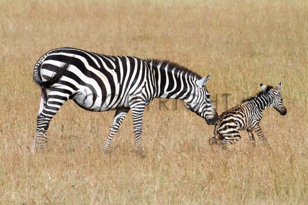 This was our most touching moment on a Safari: Watching a zebra giving birth and the first step of this cute, little foal.
