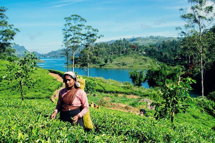 Stunning Dilmah tea trails in Sri Lanka