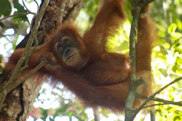 En el norte de Sumatra, en pocos días, se puede caminar por la jungla, visitar las casas de madera y paja de los batak, contemplar las fumarolas en el interior de un cráter y terminar descansando en la orilla del mayor lago del sureste asiático. Además, el Parque Nacional de Gunung Leuser es el último reducto del orangután de Sumatra que antaño poblaba toda la isla. La selva ha retrocedido más de un 50%, sólo en los últimos 35 años, debido, en parte, a la expansión de la población y a la…