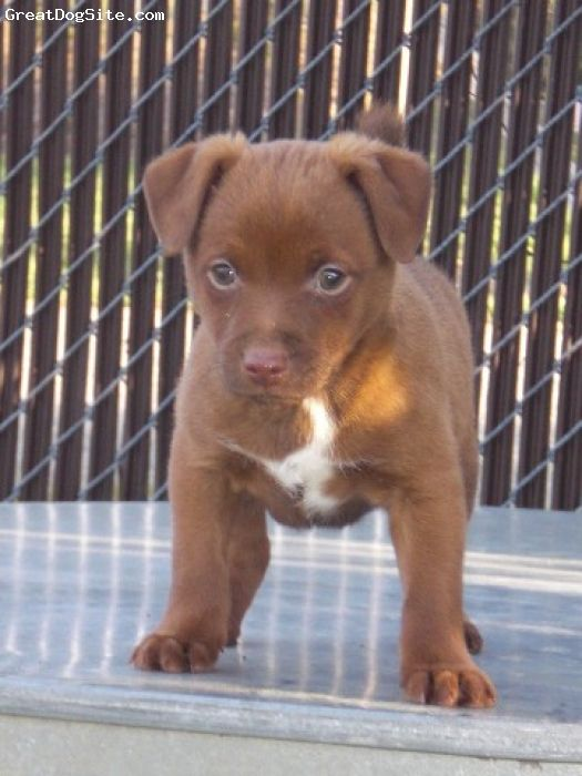 Patterdale Terrier is one of the most lively, inquisitive, and affectionate terrier breed of dogs.