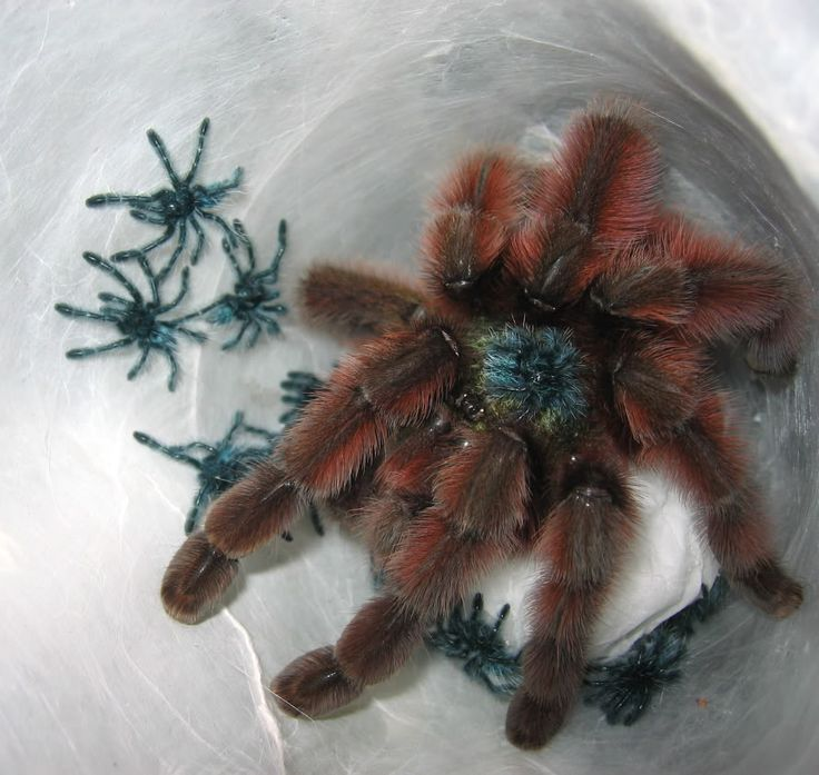 18 best Avicularia versicolor pictures images on Pinterest ...