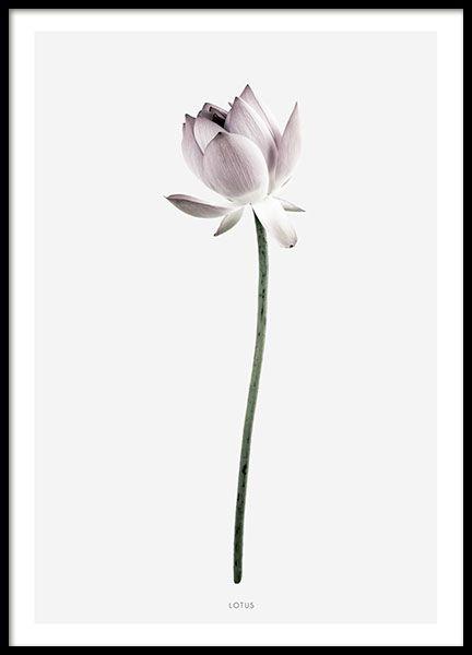 Schönes botanisches Plakat mit einer Fotografie einer Lotosblume. Das Poster hat einen grauen Hintergrund und einen weißen Rand. Sieht wunderbar aus, wenn sie mit Magnolia kombiniert wird – unserem anderen botanischen Druck in derselben Serie oder mit einem unserer Textposter. www.desenio.com