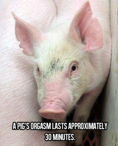 Awesome Facts About Life (17) a pigs orgasm lasts approximately 30 minutes,,,