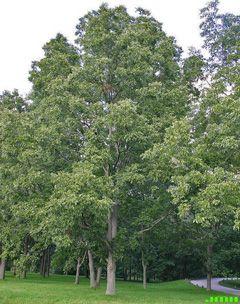 Pecan (Carya illinoinensis) needs moist soil