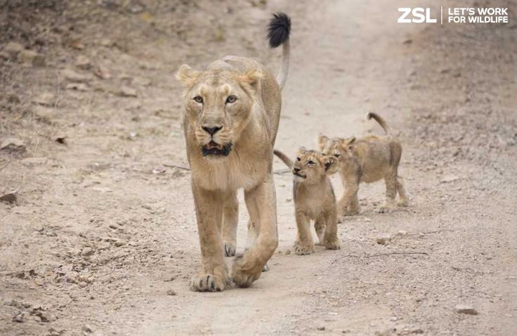 Protecting Asiatic lions in the wild is crucial to ensure the survival of this irreplaceable species. ZSL is working with partners in India, providing training, expertise and support to safeguard Asiatic lions. Find out more: http://www.zsl.org/conservation/regions/asia/protecting-asiatic-lions-in-the-gir-forest