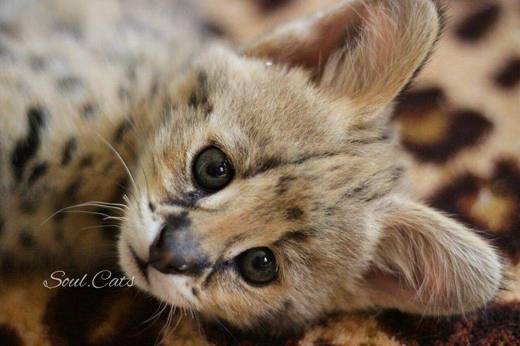 Котенок Сервал😻.  В питомнике SoulCats Вы можете купить котёнка Чаузи F1, Саванна F1 и котёнка Сервал.