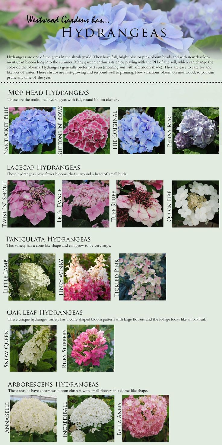The 97 best images about gardens hydrangeas specifically for Arbustos para jardin