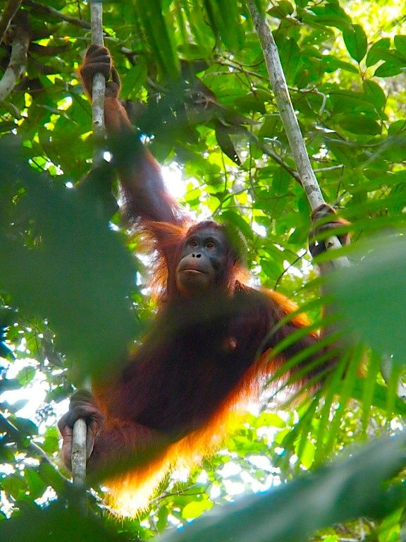 #Orangs at the #Semengoh Nationalpark in Borneo, #Malaysia