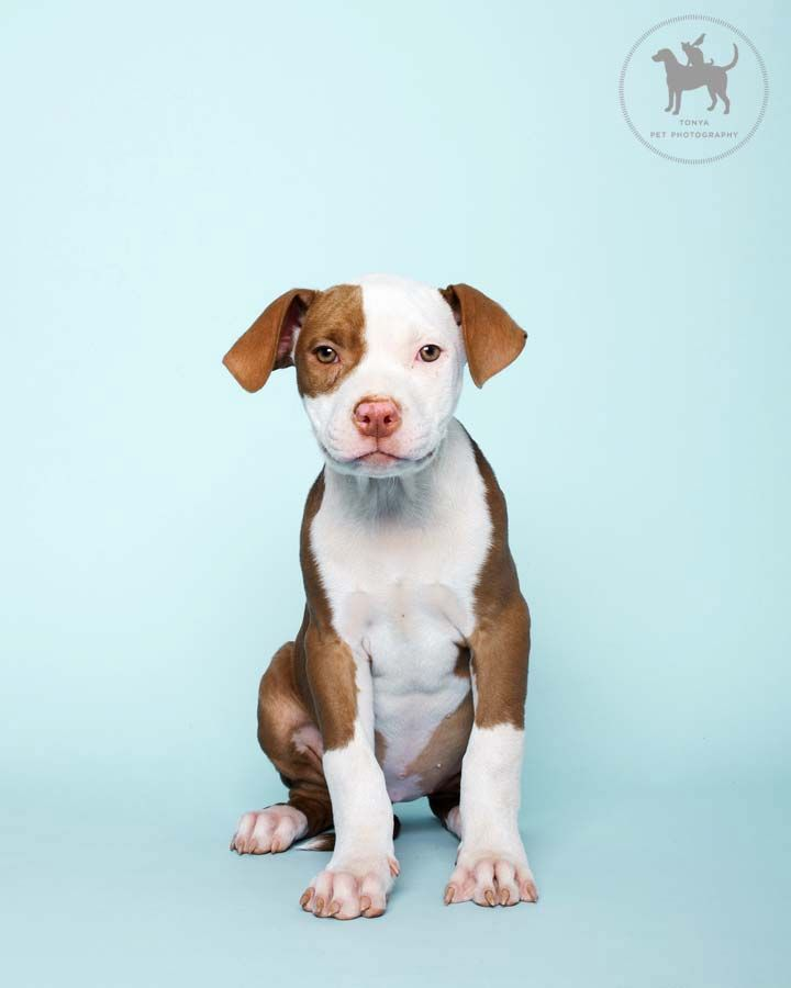 Pittie Pup by Tonya Pet Photography  Adorbs!  love the colors!