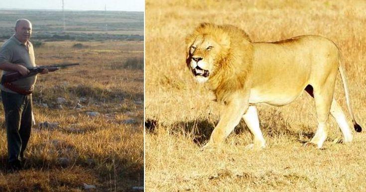 Un cazador muere cuando trataba de matar a un león para completar su extensa colección de caza tras cazar todo lo posible en Europa: #leon #leones #lion #lions #animales #animal #foto #fotos #sudafrica #noticia #noticias #schnauzi
