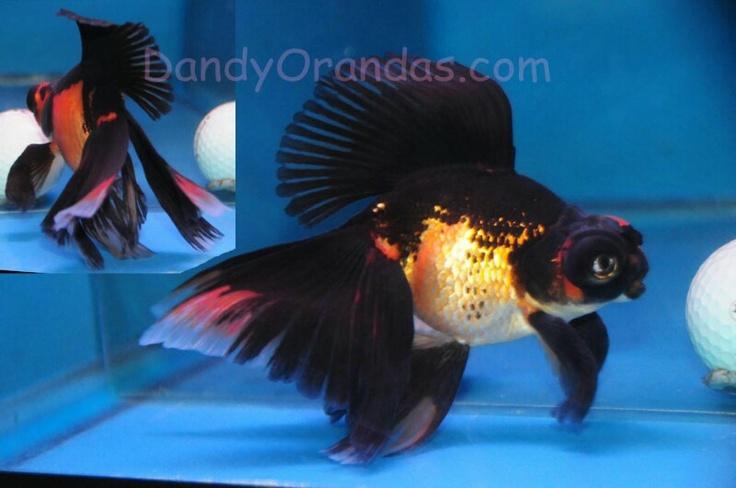 Pin de leonardo atristain en goldfish especies de peces for Criadero de peces goldfish