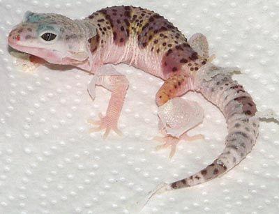 Eublepharis macularius - Leopard Gecko. Mack snow morph