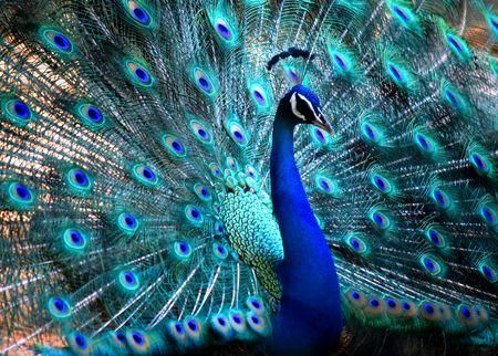 25+ best ideas about Peacock facts on Pinterest | Peacocks, Photos ...