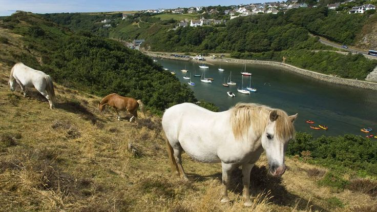 Wild ponies at Solva, Pembrokeshire, Wales, UK - Photo by Chris Burscough, of Preston, Lancashire.
