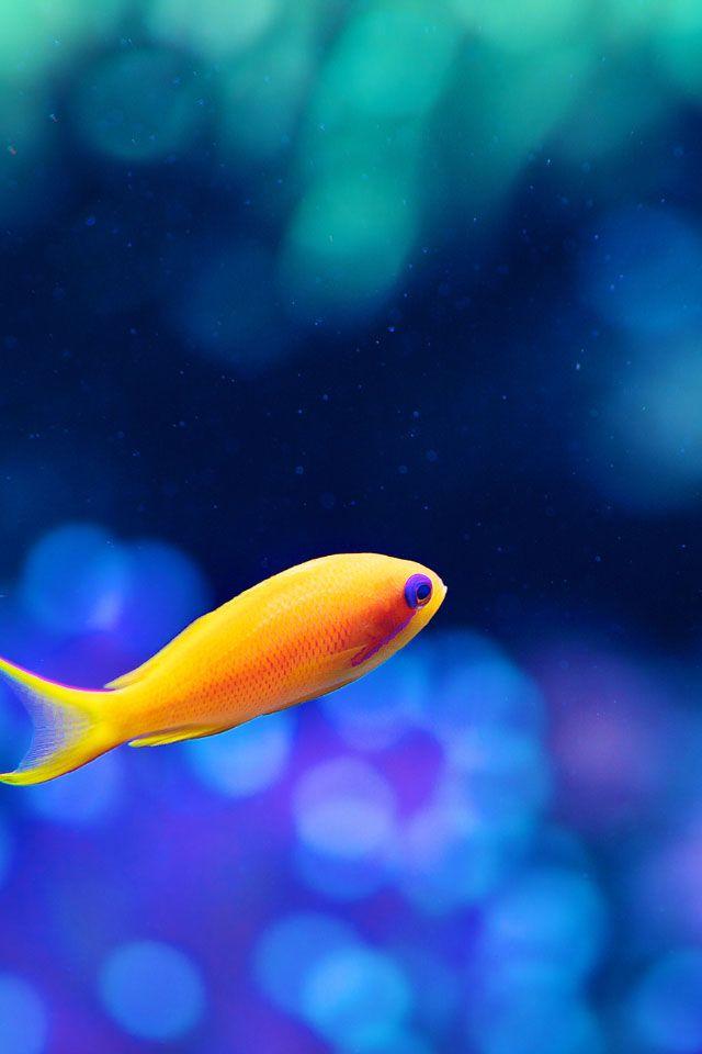 Orange fish download iphone ipad wallpaper at freeios7 for Iphone fish finder