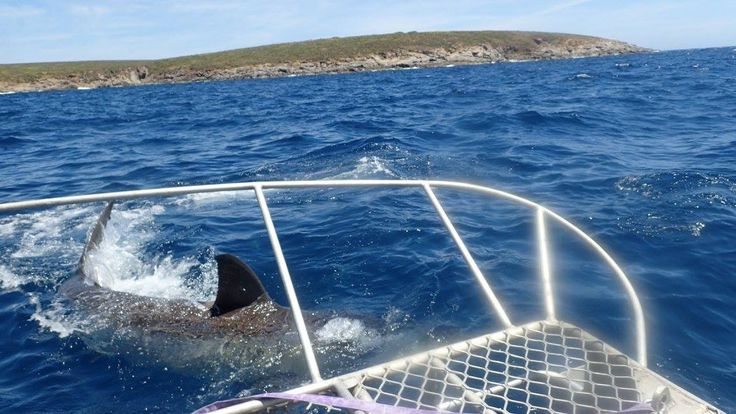 Great White Shark Cage Diving in South Australia. Wear the Brown Underpants!