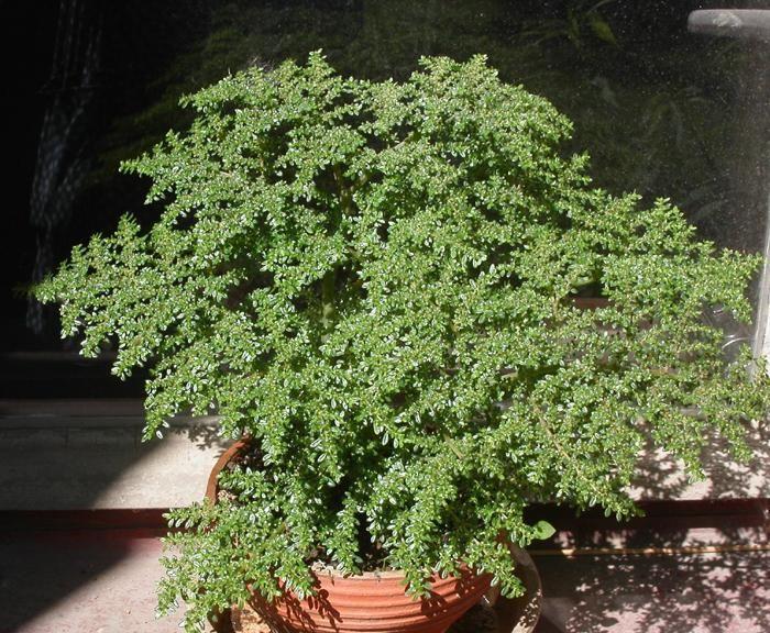 25 best ideas about pilea microphylla on pinterest for Plante pilea