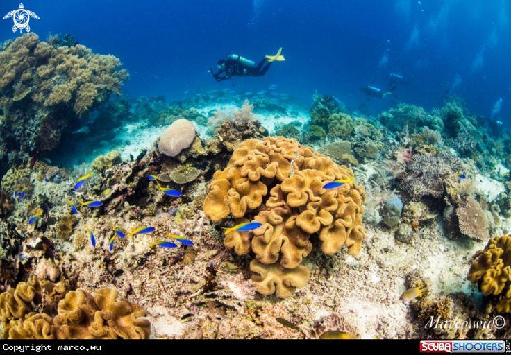 Coral and diver in Raja ampat - Indonesia