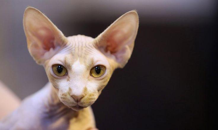 Te hablamos de la exótica y particular raza de gato sphynx