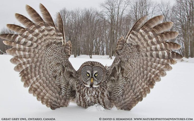 """""""Over Here"""" by wildlife and bird photographer David Hemmings on 500px.  Great Gray Owl with wings stretched wide."""