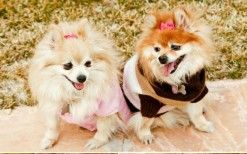How I became Pommy Mommy… a Pomeranian Rescue - Where Mommies of the Pomeranian Dog Breed can gather, socialize and find organic home made dog treats