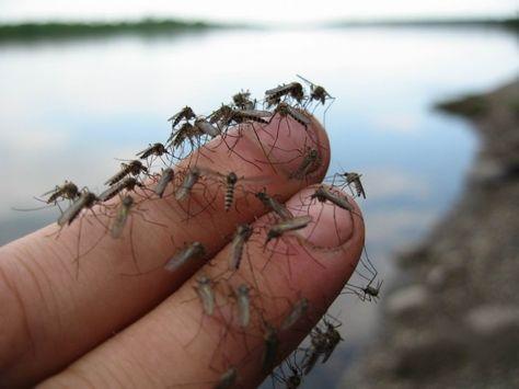 Мощное и ОЧЕНЬ простое средство от комаров - life4women.ru